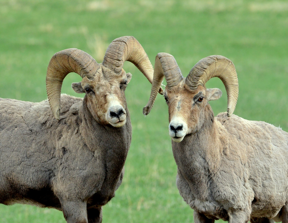 Bighorn Sheep – Ram | Cody, Wyoming | May, 2013