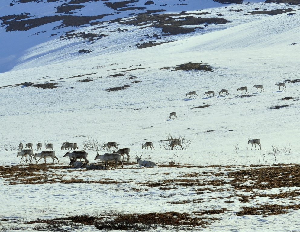 Caribou | Atigun Pass, Alaska | May, 2013