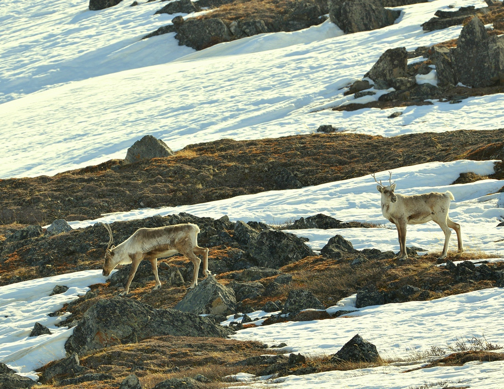 Caribou – Cows | Atigun Pass, Alaska | May, 2013