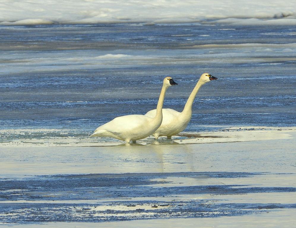 Tundra Swans | Deadhorse, Alaska | May, 2013
