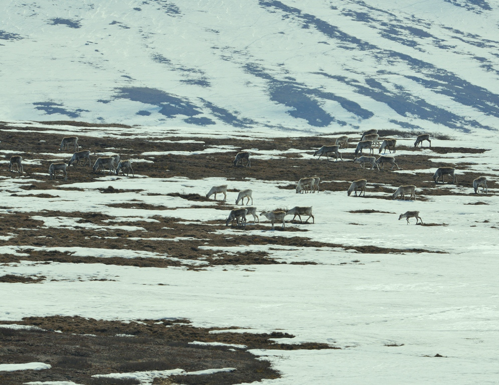 Caribou – Cows | Deadhorse, Alaska | May, 2013