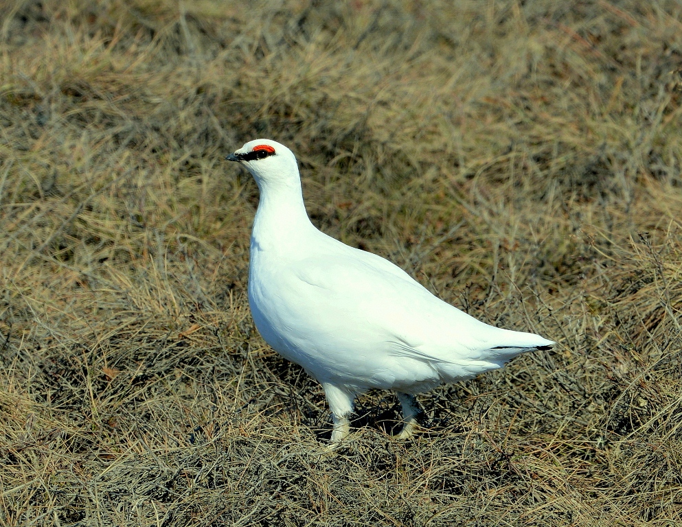 Rock Ptarmigan | Deadhorse, Alaska | May, 2013