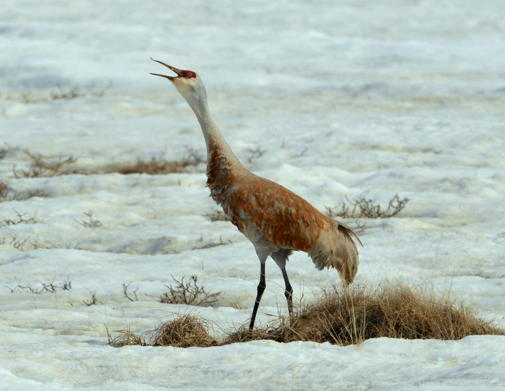 Sandhill Crane | Deadhorse, Alaska | May, 2013