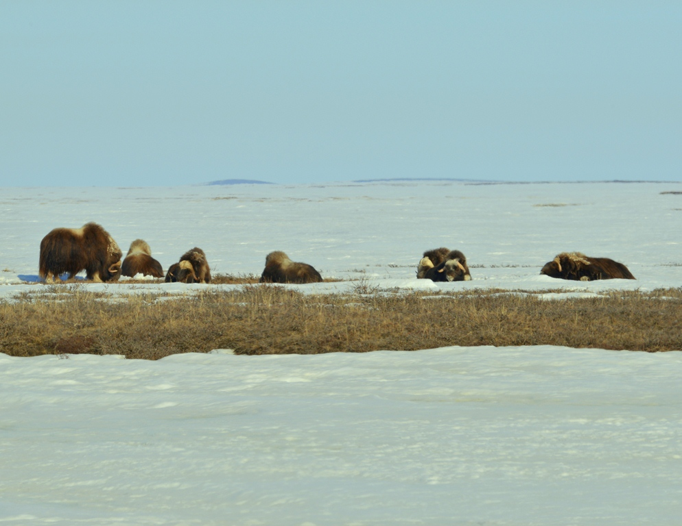 Musk Ox | Deadhorse, Alaska | May, 2013