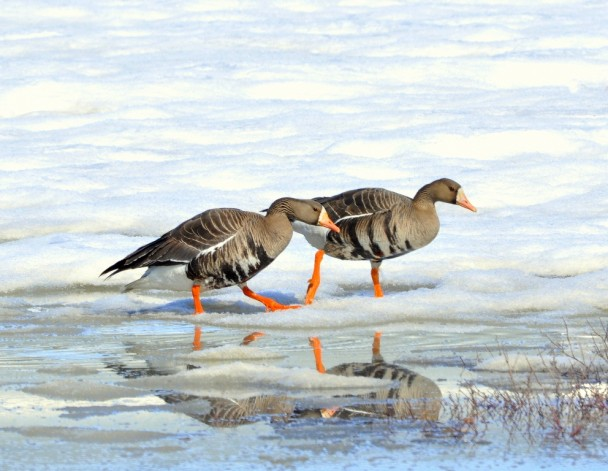 Greater White-fronted Geese | Deadhorse, Alaska | May, 2013