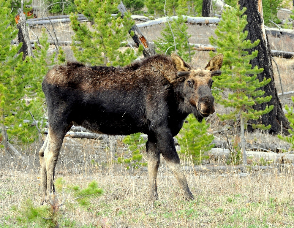 Moose – Bull | Yellowstone National Park | May, 2013