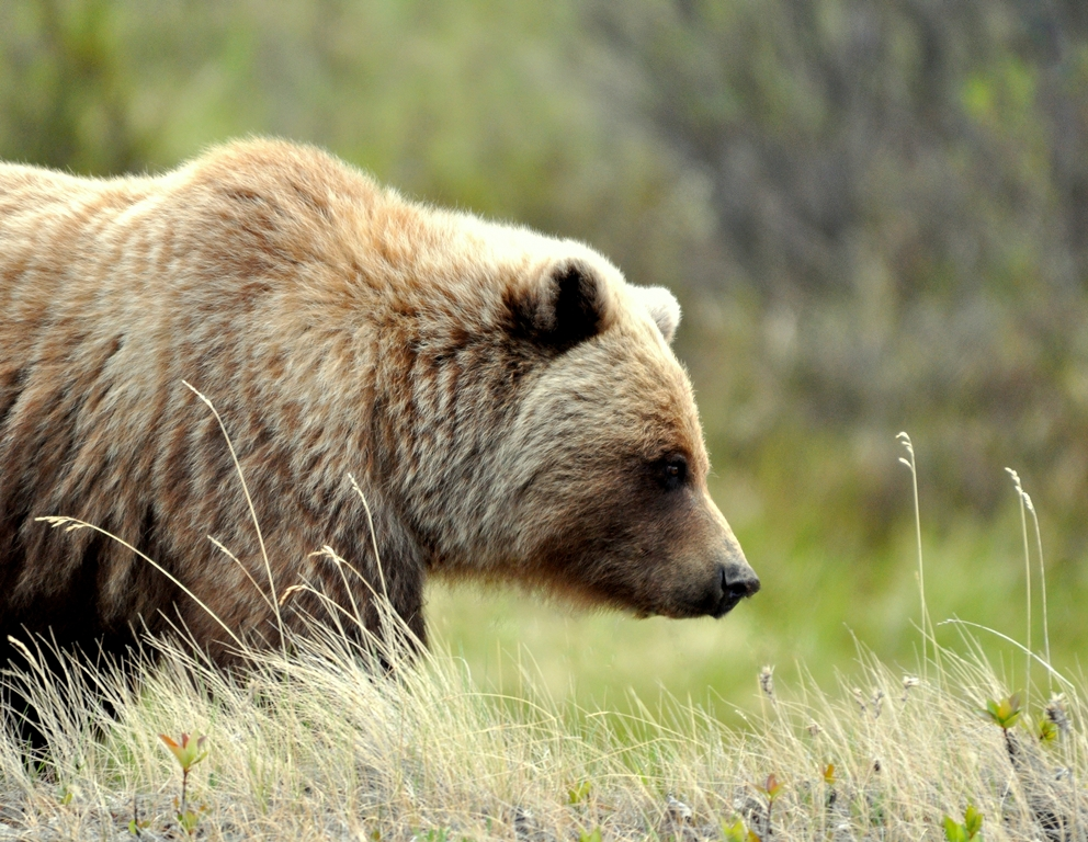 Grizzly Bear   Haines Junction, Yukon   May, 2013
