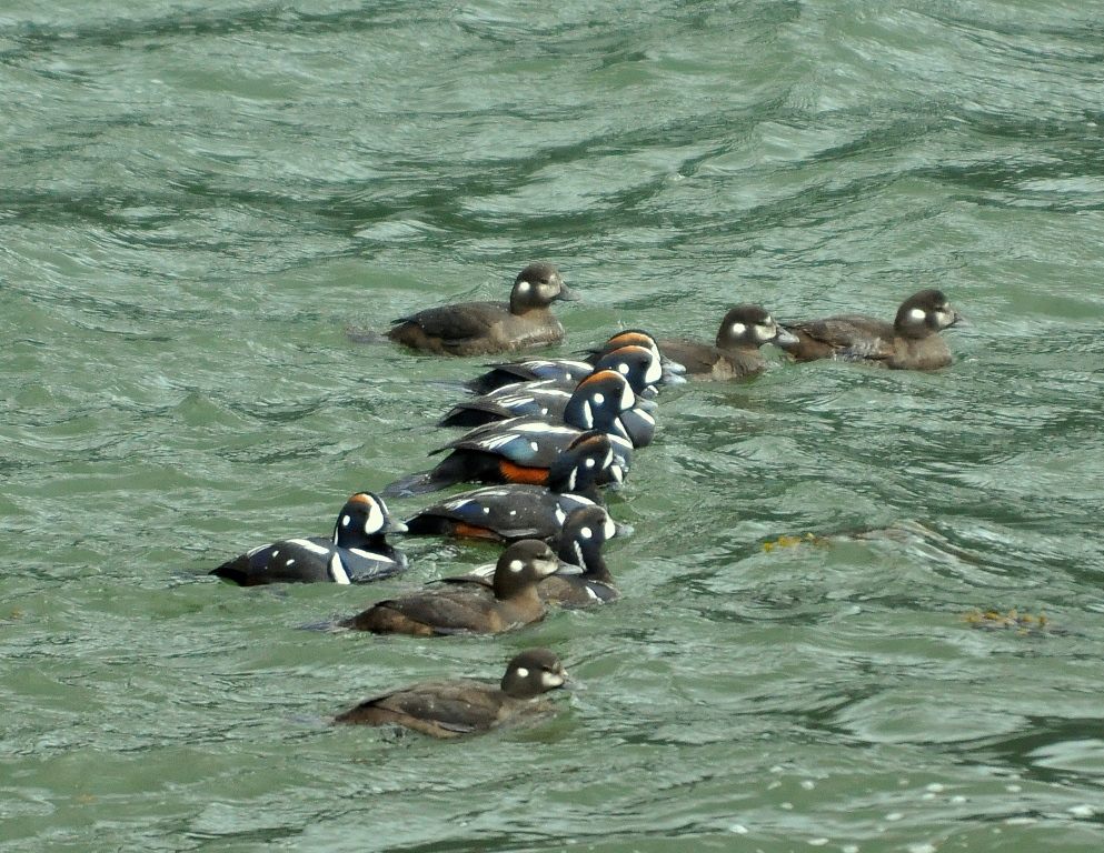 Harlequin Ducks | Haines, Alaska | May, 2013