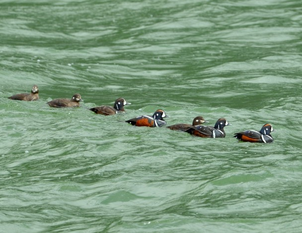 Harlequin Ducks | Haines, Alaska | May, 2013