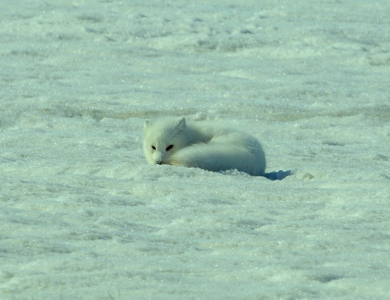 Arctic Fox | Deadhorse, Alaska | May, 2013