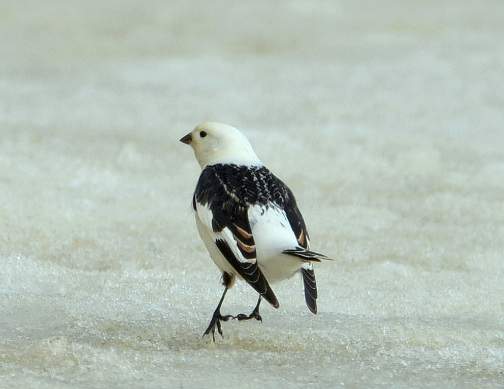 Snow Bunting | Deadhorse, Alaska | May, 2013
