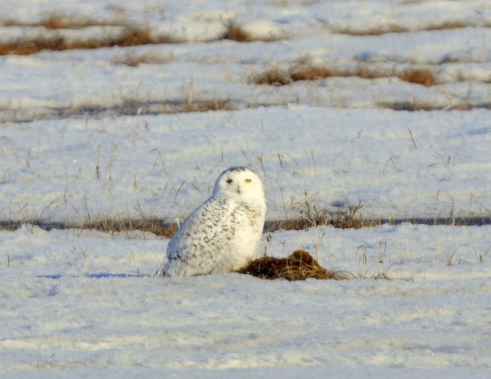 Snowy Owl | Deadhorse, Alaska | May, 2013
