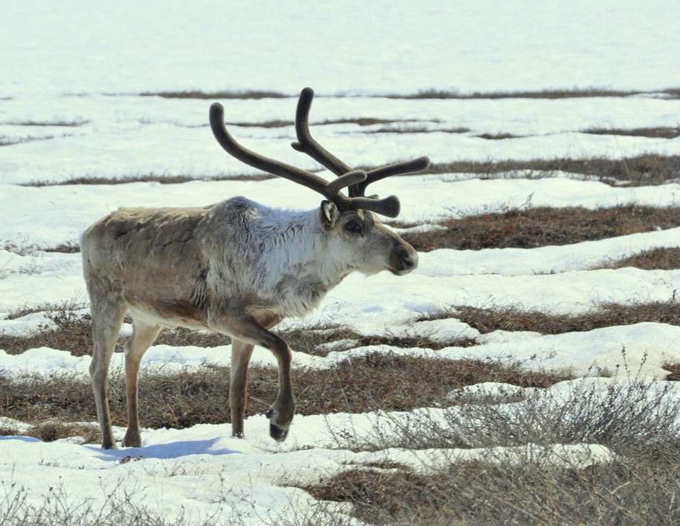 Caribou | Deadhorse, Alaska | May, 2013
