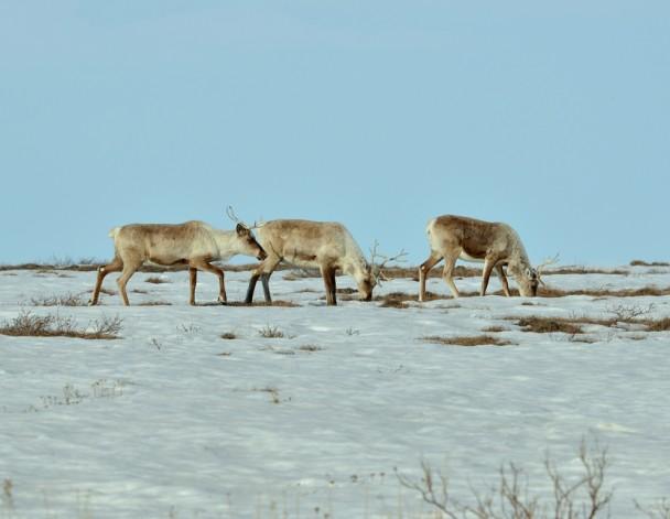 Caribou – Cows  Deadhorse, Alaska   May, 2013