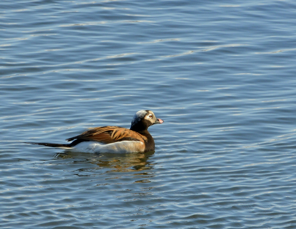 Long-tailed Duck – Male | Coldfoot, Alaska | May, 2013