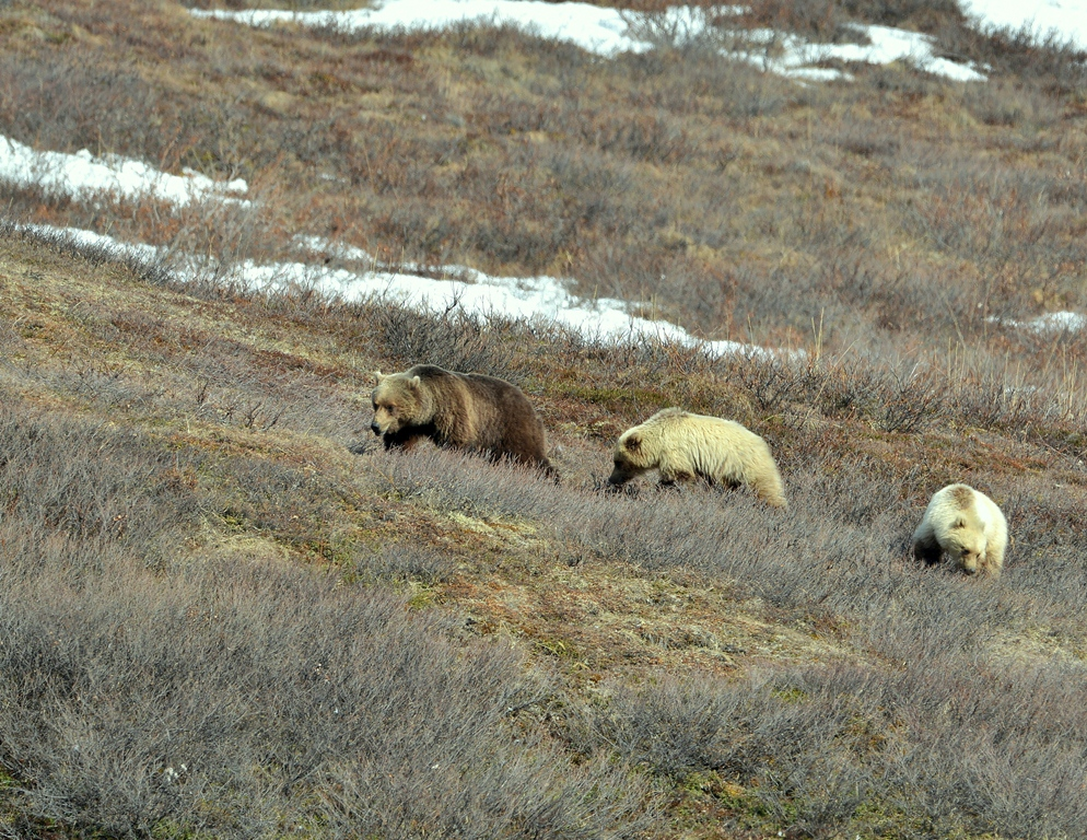 Grizzly – Female and Cubs | Atigun Pass, Alaska | May, 2013