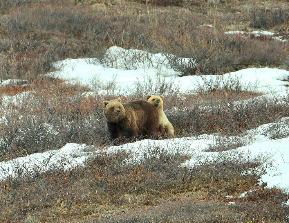 Grizzly Bear – Female and Cub | Atigun Pass, Alaska | May, 2013