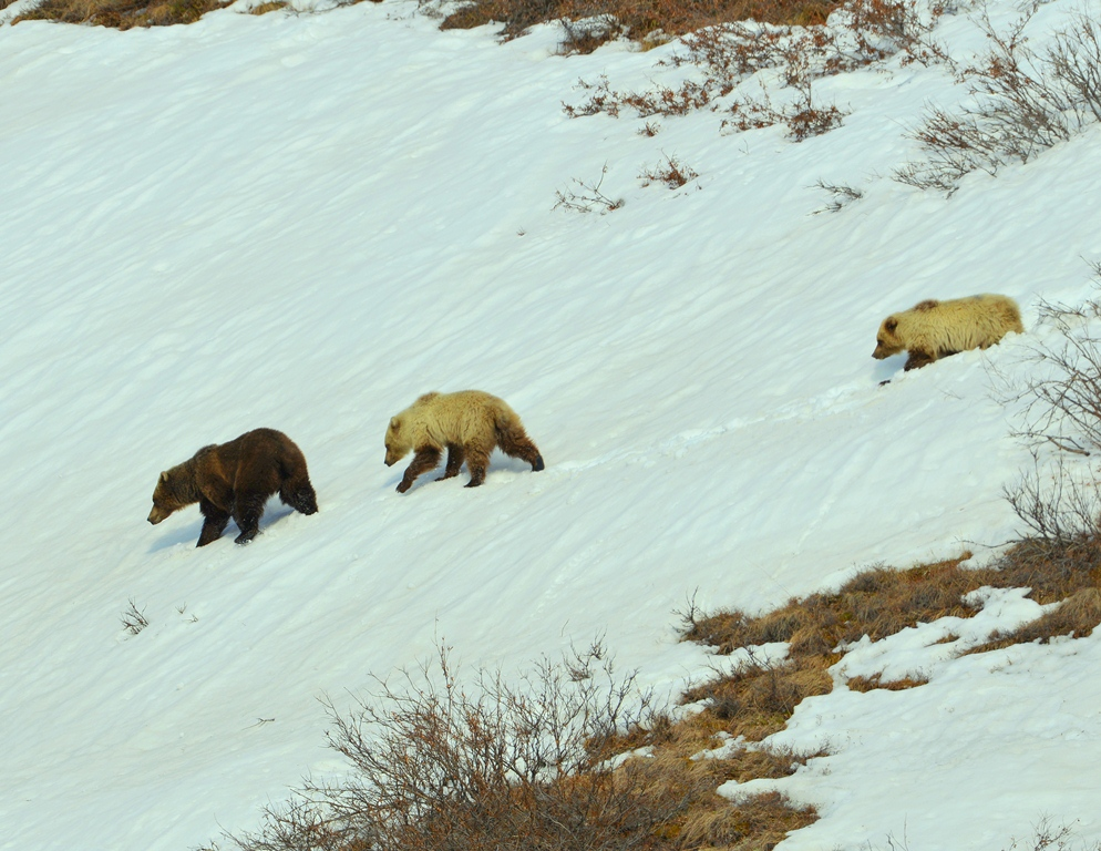 Grizzly Bear – Female and Cubs | Atigun Pass, Alaska | May, 2013