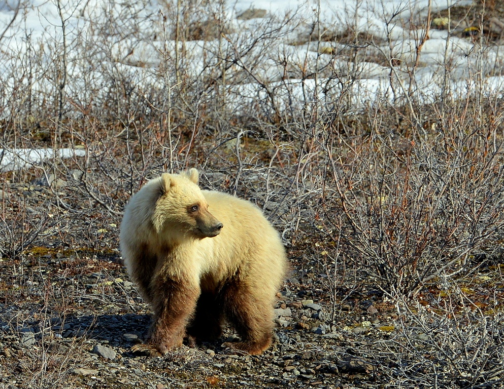 Grizzly Bear – Cub | Atigun Pass, Alaska | May, 2013