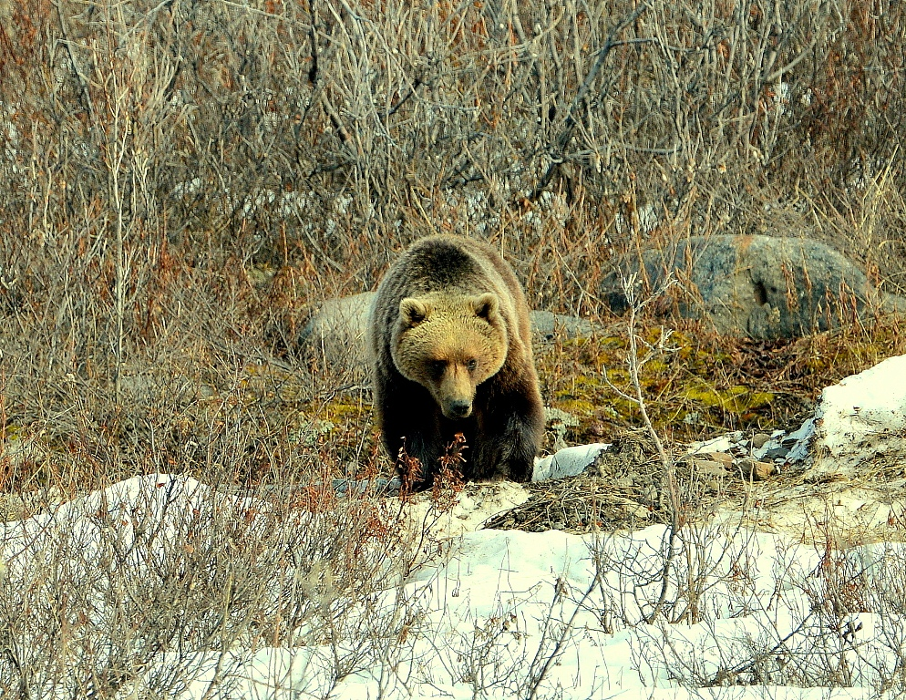 Grizzly Bear – Female | Atigun Pass, Alaska | May, 2013