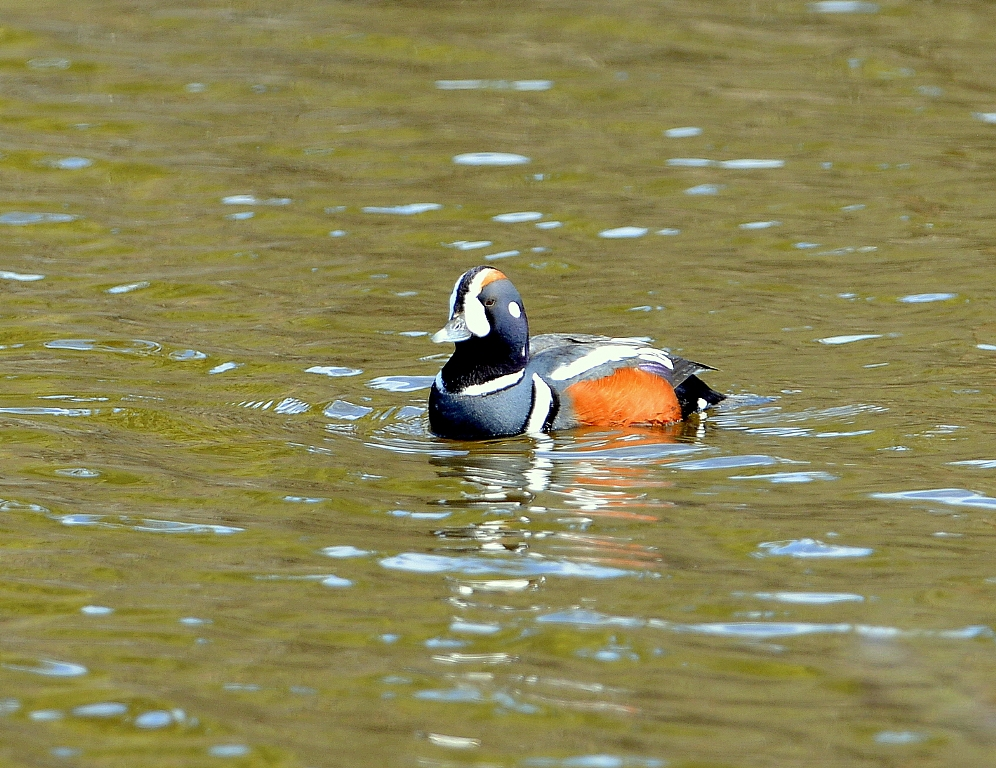 Harlequin Duck – Male | Coldfoot, Alaska | May, 2013