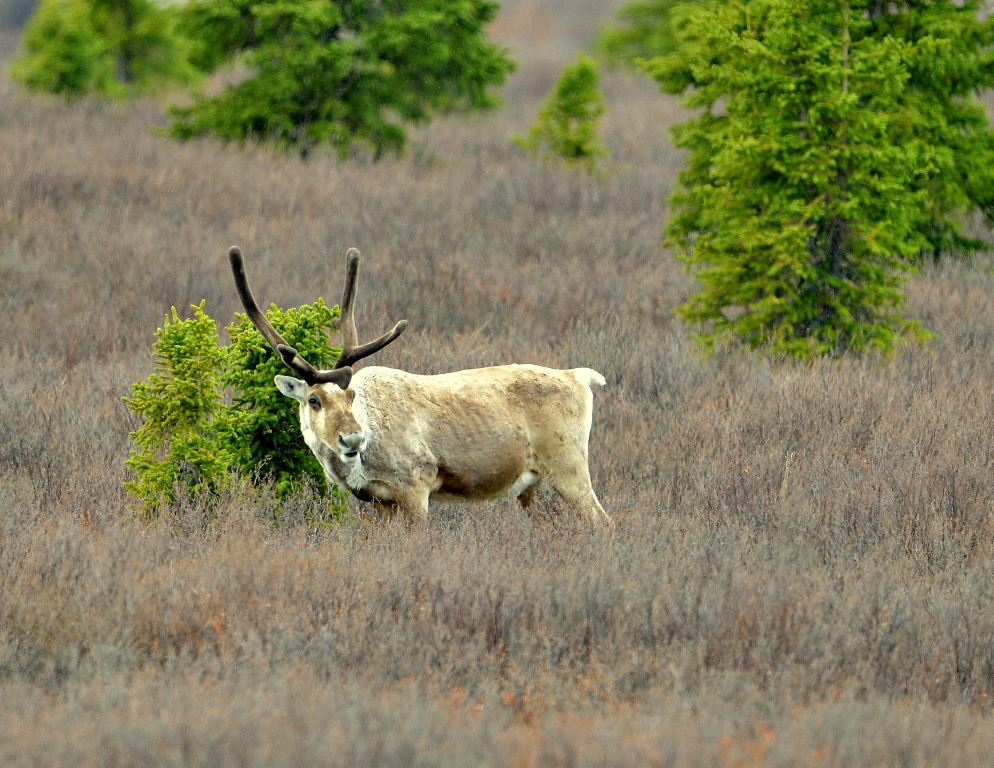 Caribou – Bull | Denali National Park | May, 2013