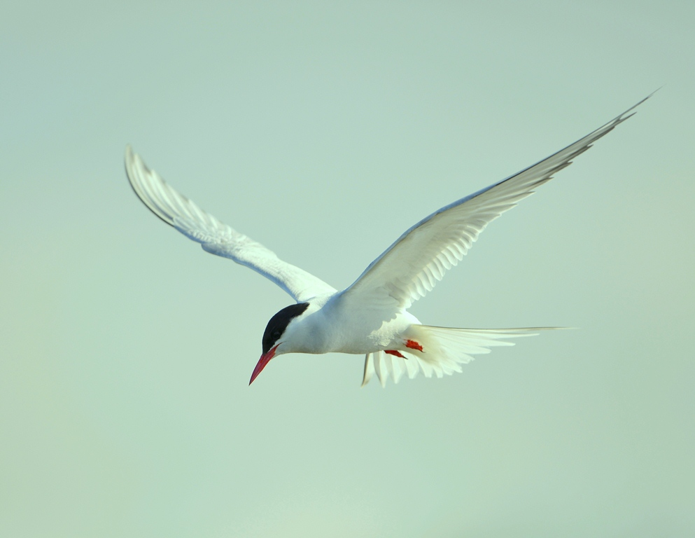 Arctic Tern | Anchorage, Alaska | May, 2013