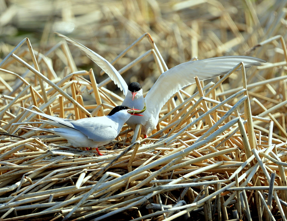 Arctic Terns – Male and Female | Anchorage, Alaska | May, 2013