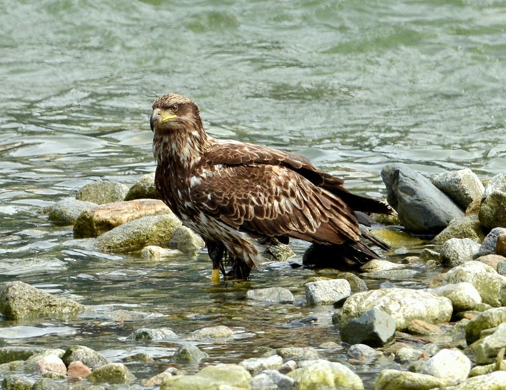 Bald Eagle – Immature | Haines, Alaska | June, 2013