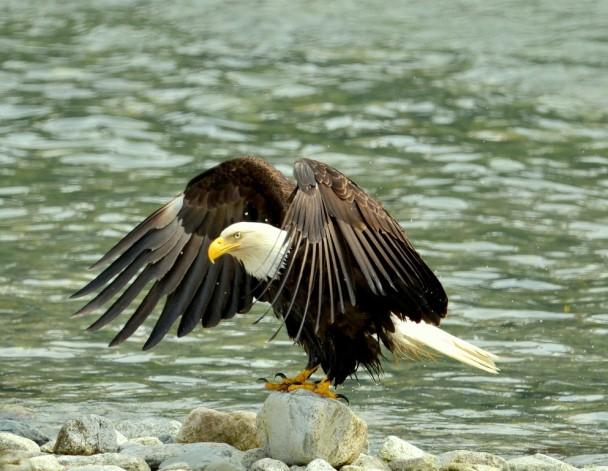 Bald Eagle   Haines, Alaska    June, 2013