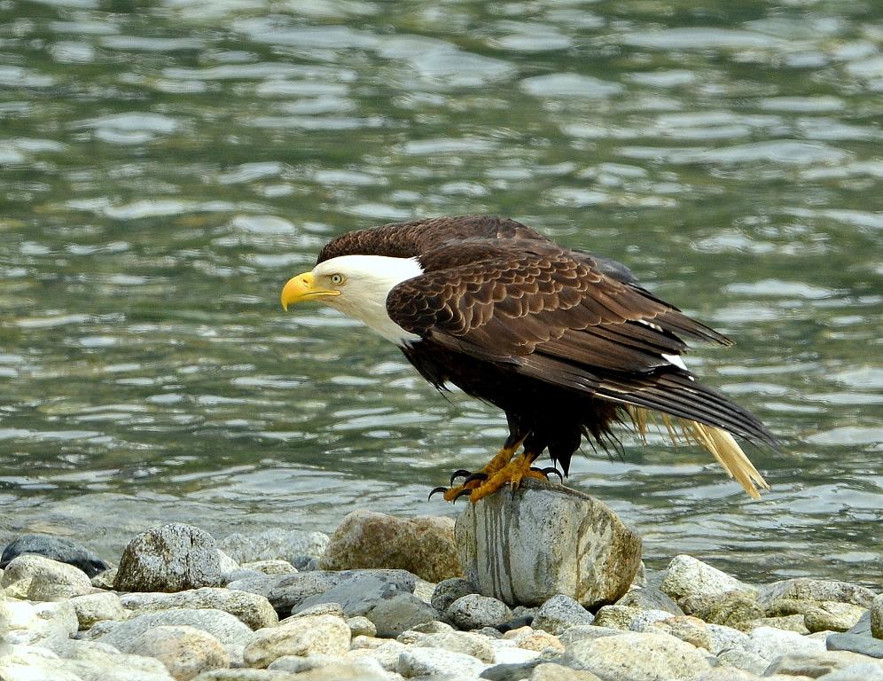 Bald Eagle | Haines, Alaska | June, 2013