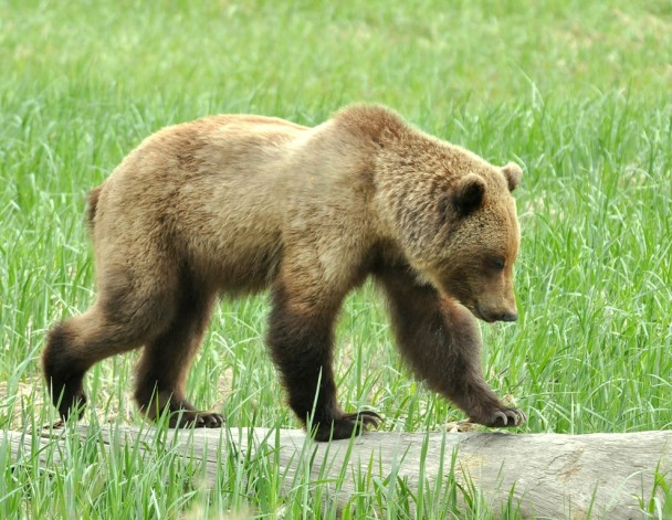 Brown Bear – Immature | Haines, Alaska | June, 2013