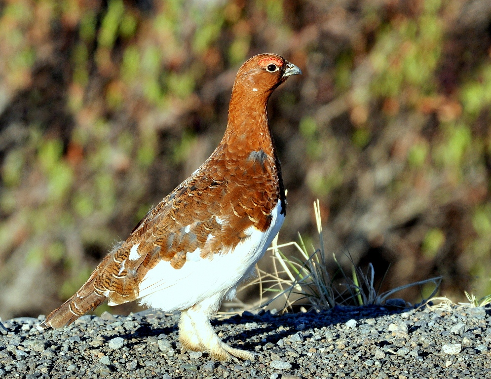 Willow Ptarmigan | Eagle Plains, Yukon | June, 2013
