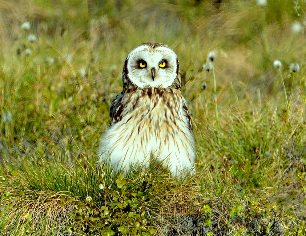 Short-eared Owl | Eagle Plains, Yukon | June, 2013