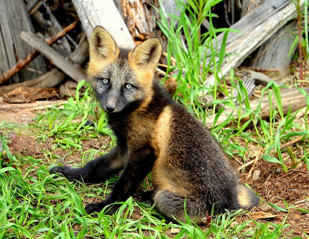 Red Fox – Pup | Dease Lake, B.C. | June, 2013