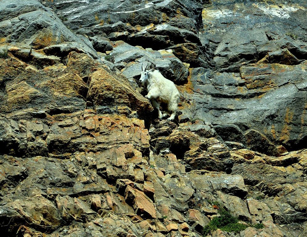 Mountain Goat | Jasper National Park | June, 2013