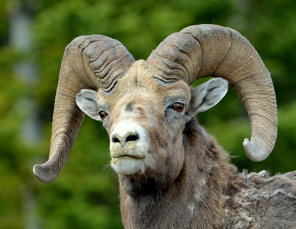 Bighorn Sheep – Ram | Jasper National Park | June, 2013