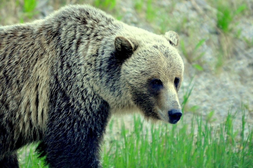 Grizzly Bear | Radium Hot Springs, B.C. | June, 2013