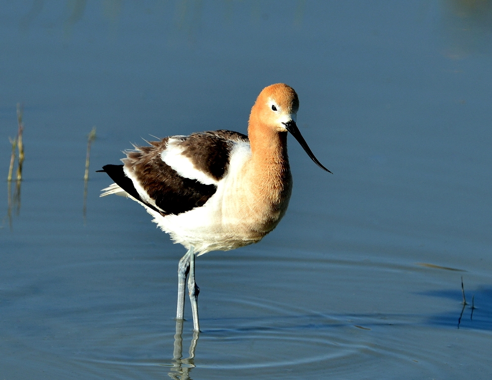 American Avocet | Walden, Colorado | June, 2013