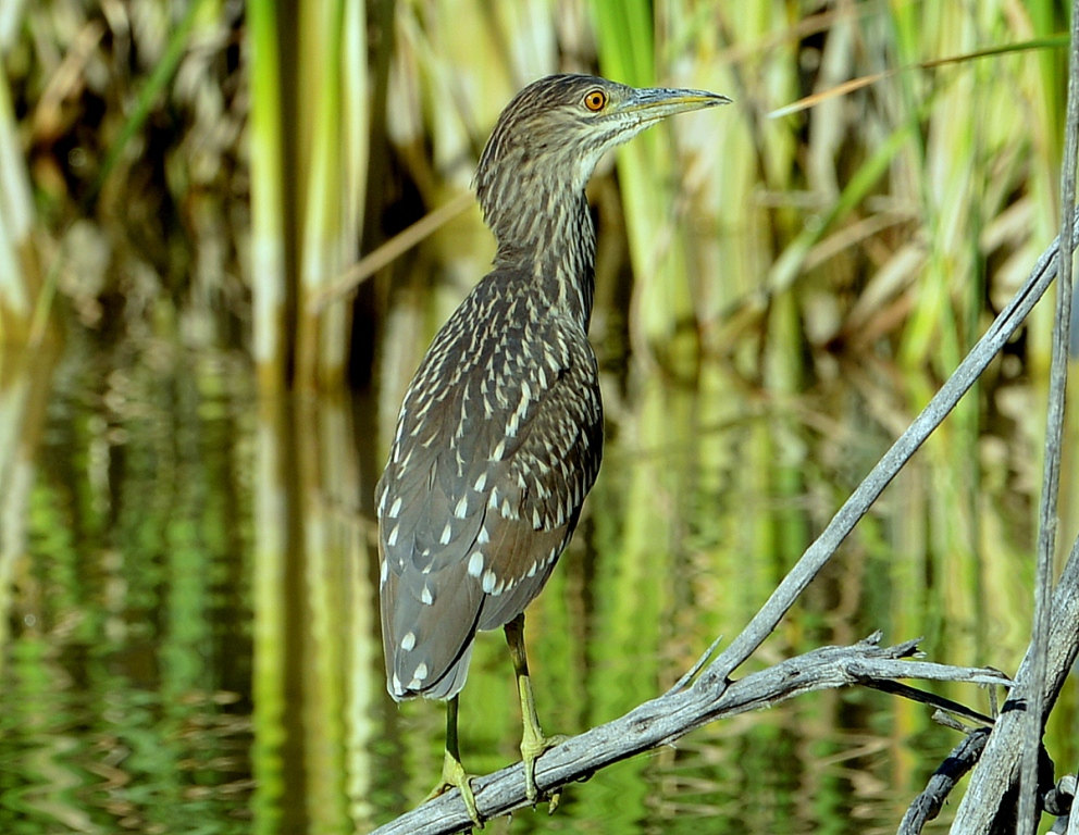 Black-crowned Night-Heron – Juvenile | Bosque del Apache | Sept., 2013