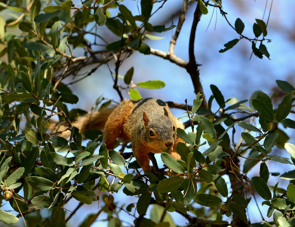 Chiricahua Fox Squirrel | Cave Creek Canyon, Arizona | October, 2013