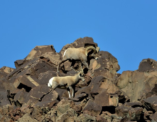 Bighorn Sheep | Pilar, New Mexico | November, 2013