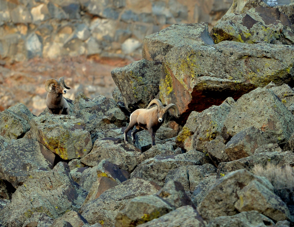 Bighorn Sheep – Rams | Pilar, New Mexico | November, 2013