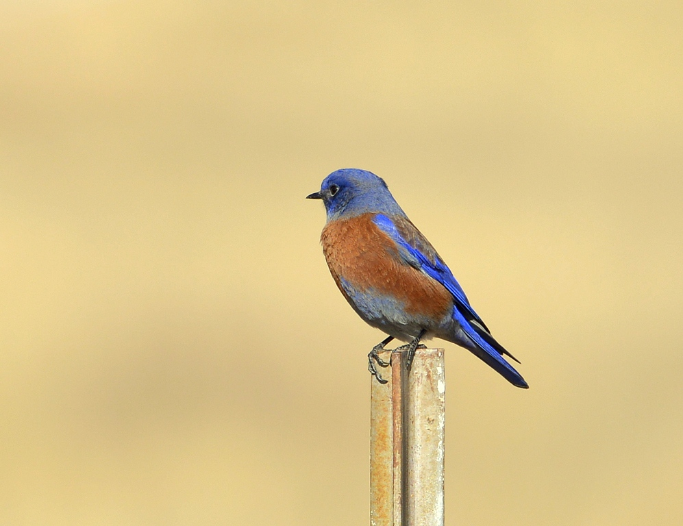 Western Bluebird – Male | Dulce, New Mexico | November, 2013