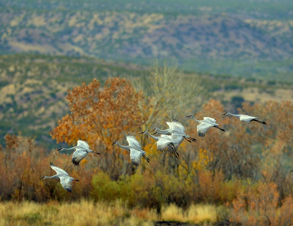 Sandhill Cranes | Bosque del Apache | November, 2013