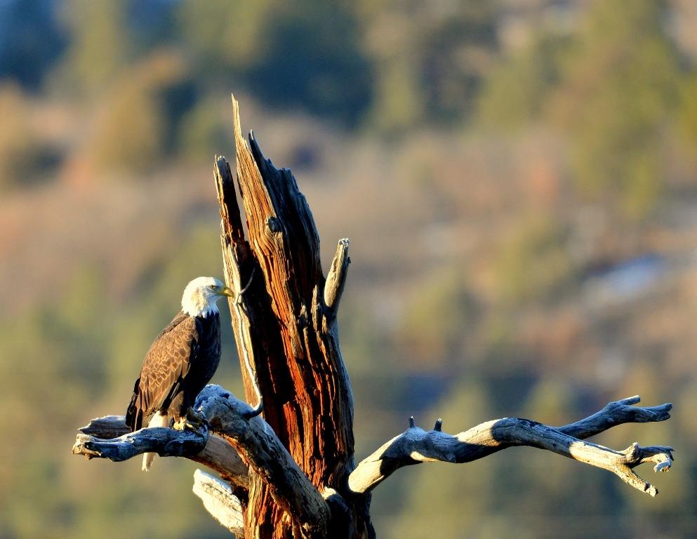 Bald Eagle | Dulce, New Mexico | November, 2013