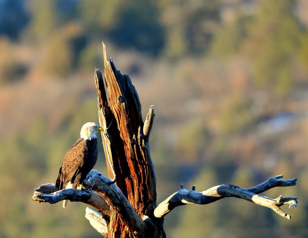 Bald Eagle   Dulce, New Mexico   November, 2013