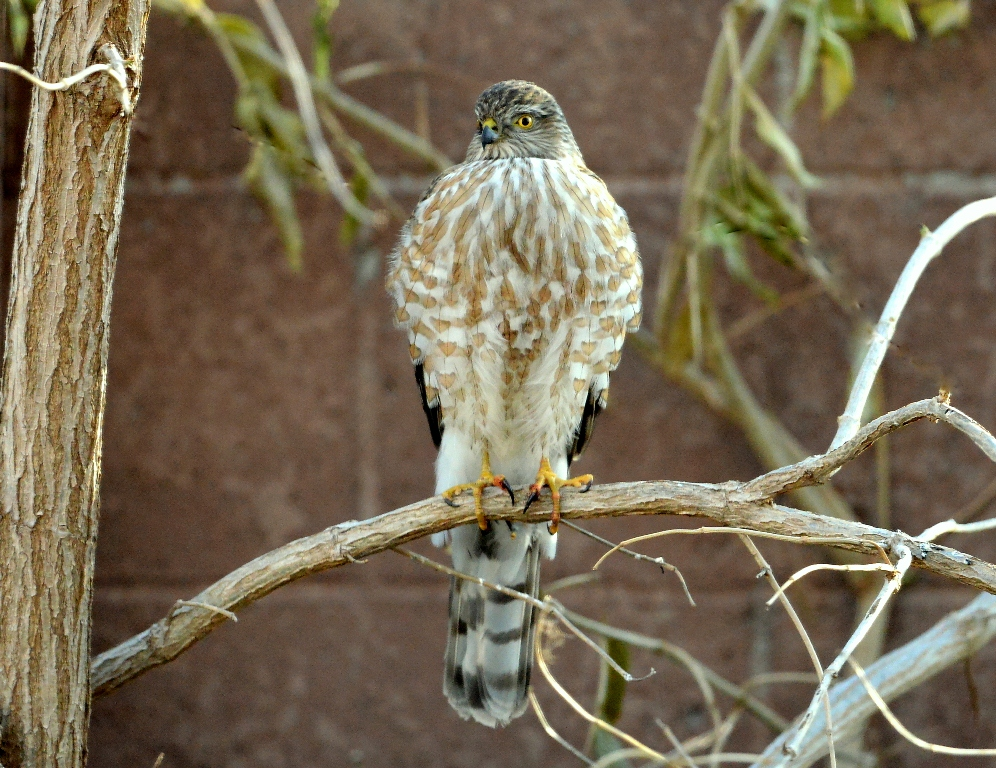 Coopers Hawk | Albuquerque, New Mexico | December, 2013