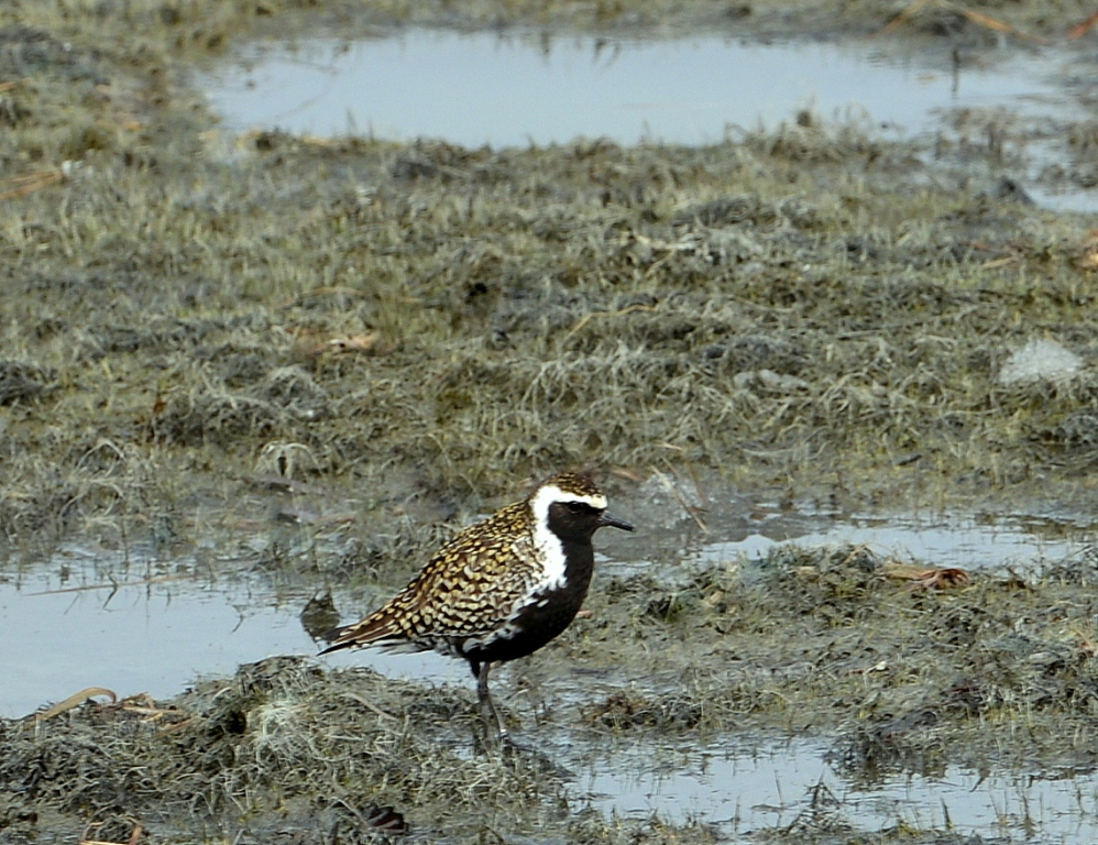 American Golden-Plover – Female | Haines Jct., Yukon | May, 2013