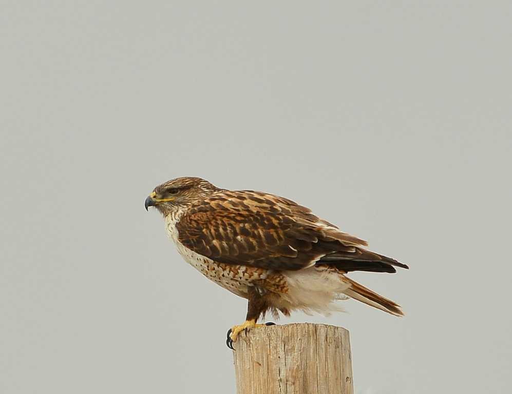 Ferruginous Hawk |  Estancia, New Mexico | February, 2014